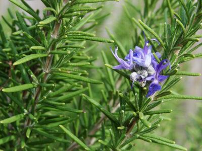 Δενδρολίβανο (Rosmarinus officinalis)