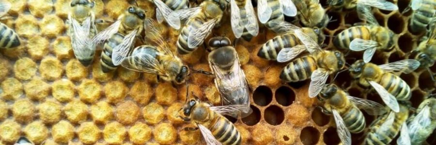 Κηφήνας και μέλισσες